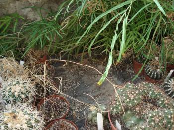 Discocactus bahiensis verstorben