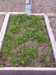 Escobaria Salat