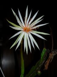 Epiphyllum rubrocoronatum RB25