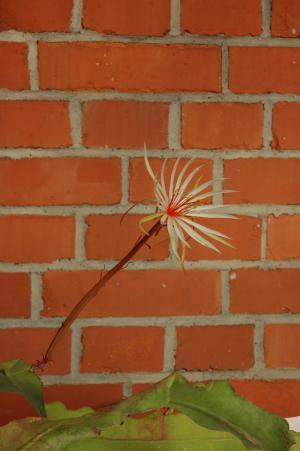 Epiphyllum phyllanthus ssp. rubrocoronatum RBA373