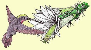 Kolibri und Epi