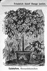 Schlumbergera Hochstamm Abbildung aus dem Kakteen-Haage Katalog 1926