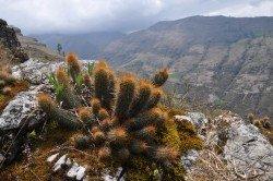Matucana fruticosa im Habitat bei Cajamarca