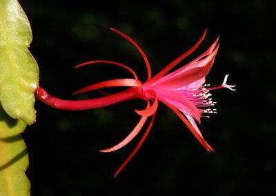 Epicactus Jalisco Flirt