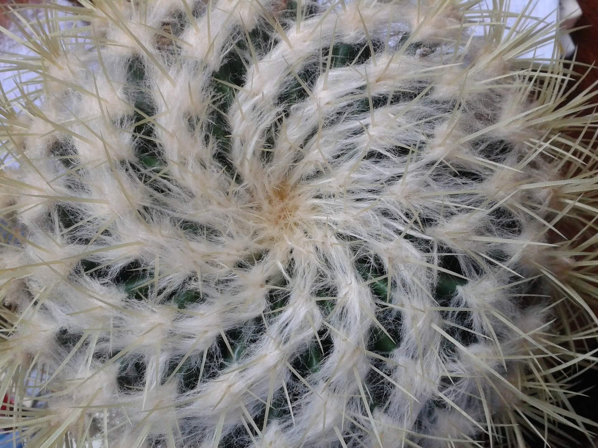 Echinopsis eyriesii – Völlig verdreht