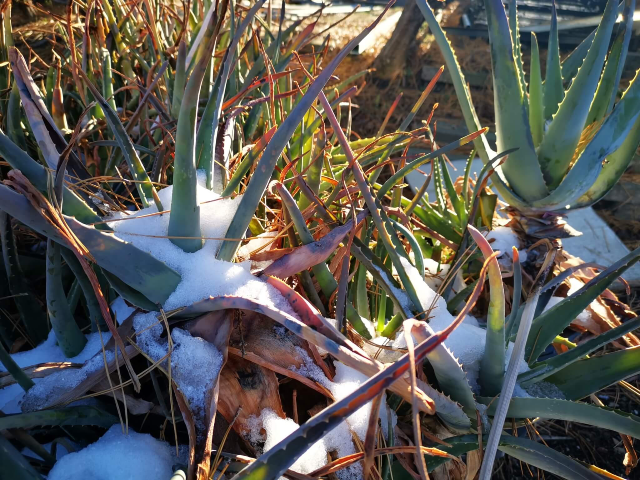 Frosthärtetest - Aloe vera im Schnee bei Kakteen-Haage